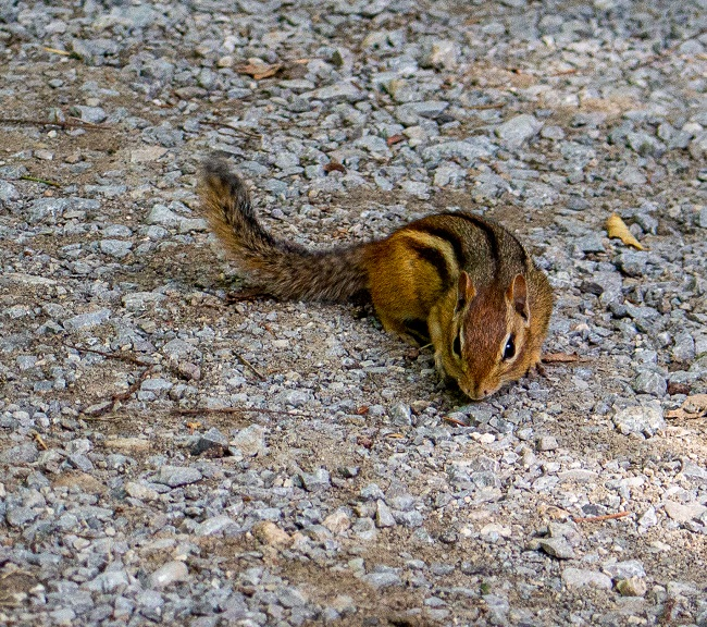 Mill Pond - chipmunk