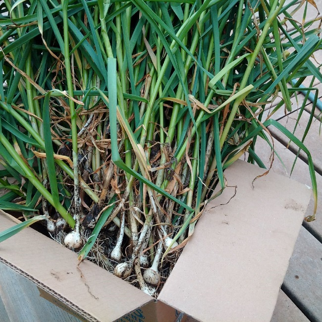 a box of harvested garlic plants